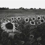 Sunflowers Spain copy