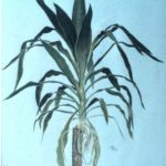 Small Yucca. C/P on paper.